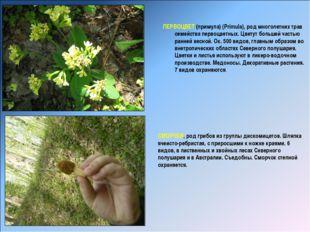 ПЕРВОЦВЕТ (примула) (Primula), род многолетних трав семейства первоцветных.