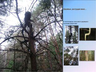 Деревья, растущие вниз… В лесопосадках очень много деревьев с похожими дефект