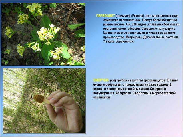 ПЕРВОЦВЕТ (примула) (Primula), род многолетних трав семейства первоцветных....