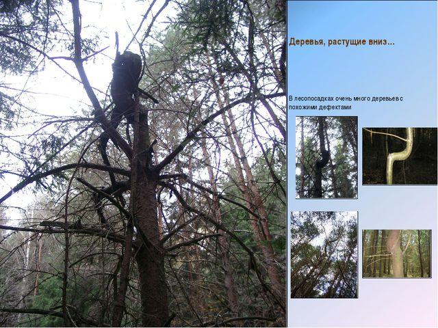 Деревья, растущие вниз… В лесопосадках очень много деревьев с похожими дефект...