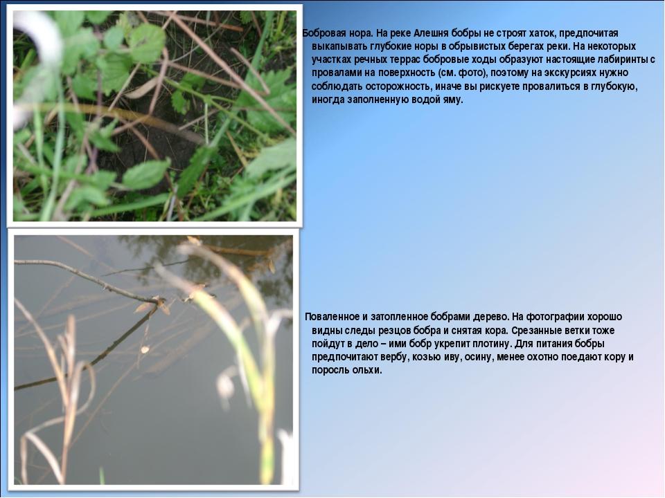 Бобровая нора. На реке Алешня бобры не строят хаток, предпочитая выкапывать...
