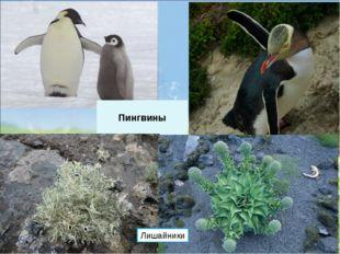 Пингвины Лишайники