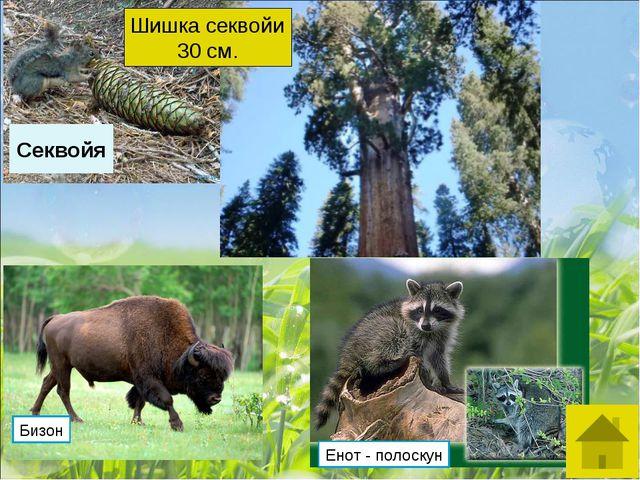 Секвойя Шишка секвойи 30 см. Бизон Енот - полоскун