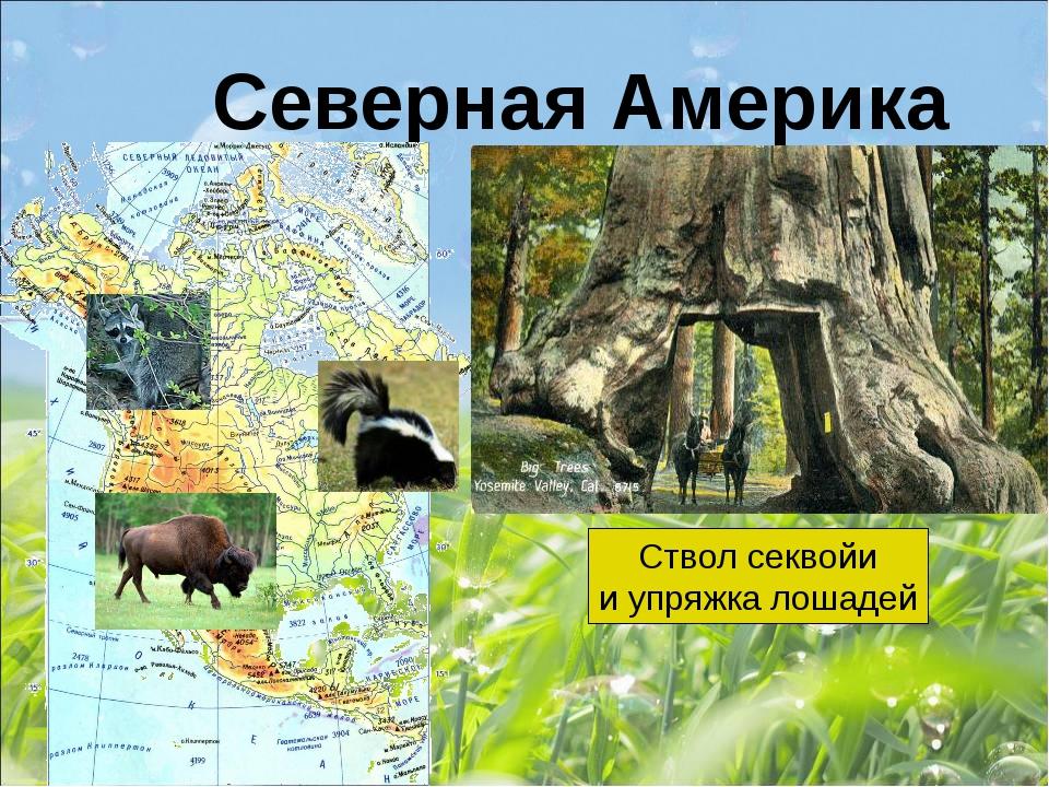 Северная Америка Ствол секвойи и упряжка лошадей