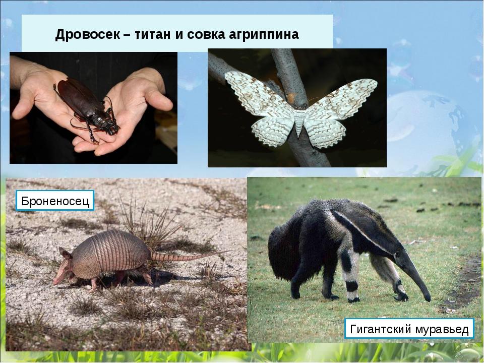 Дровосек – титан и совка агриппина Броненосец Гигантский муравьед