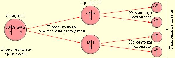 I закон Менделя на языке хромосом