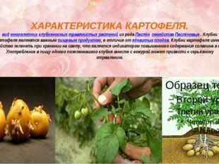 ХАРАКТЕРИСТИКА КАРТОФЕЛЯ. видмноголетнихклубненосныхтравянистых растенийи
