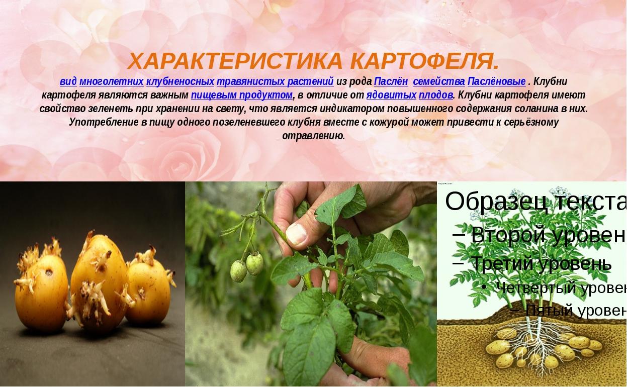 ХАРАКТЕРИСТИКА КАРТОФЕЛЯ. видмноголетнихклубненосныхтравянистых растенийи...