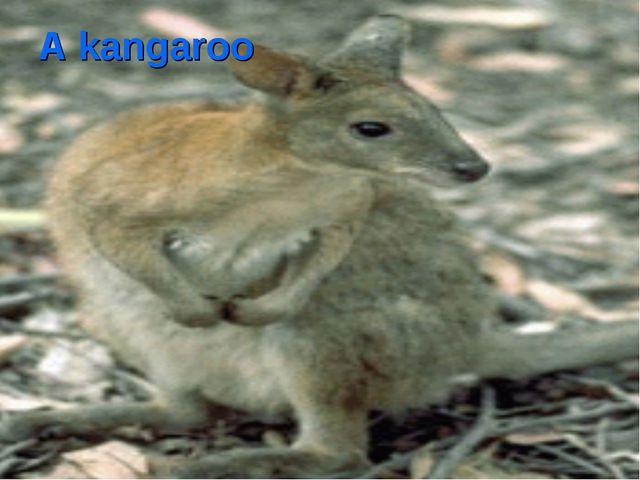A kangaroo