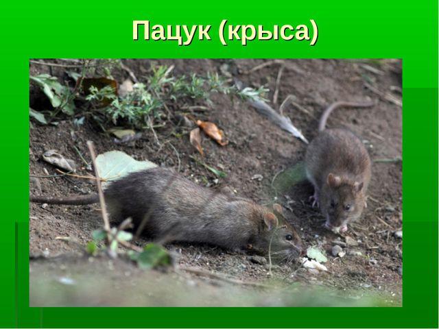 Пацук (крыса)