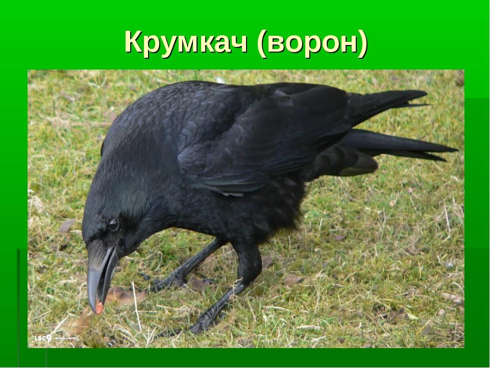 Крумкач (ворон)