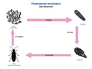 Размножение насекомого (жук дровосек) 15 дней 10-15 дней Яйца (около 400) Лич