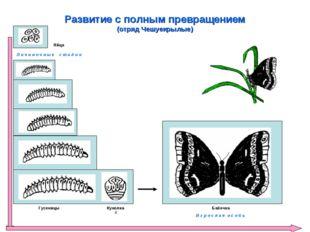 Развитие с полным превращением (отряд Чешуекрылые) Яйца Гусеницы К Куколка Л