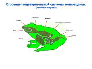 Строение пищеварительной системы земноводных (зелёная лягушка) Глотка Пищевод
