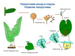 Папоротники хвощи и плауны Развитие папоротника Растение образующее споры Обр