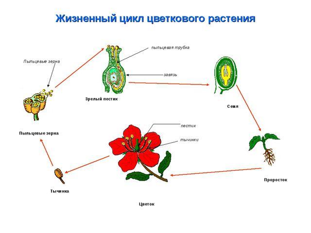 Жизненный цикл цветкового растения Проросток Семя Тычинка Цветок Пыльцевые зе...