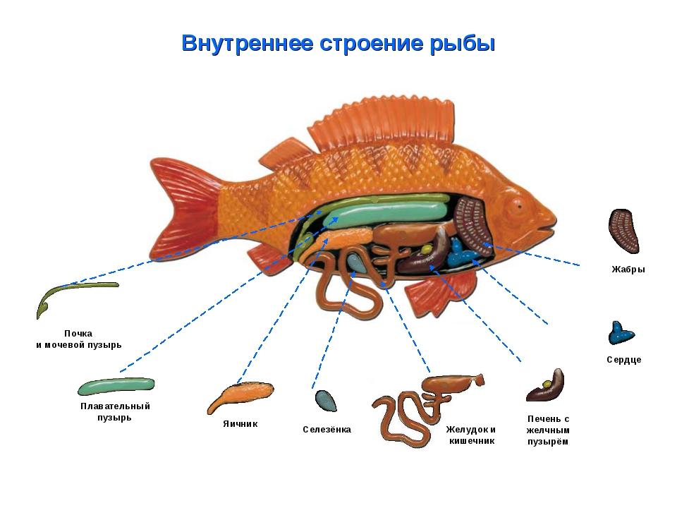Внутреннее строение рыбы