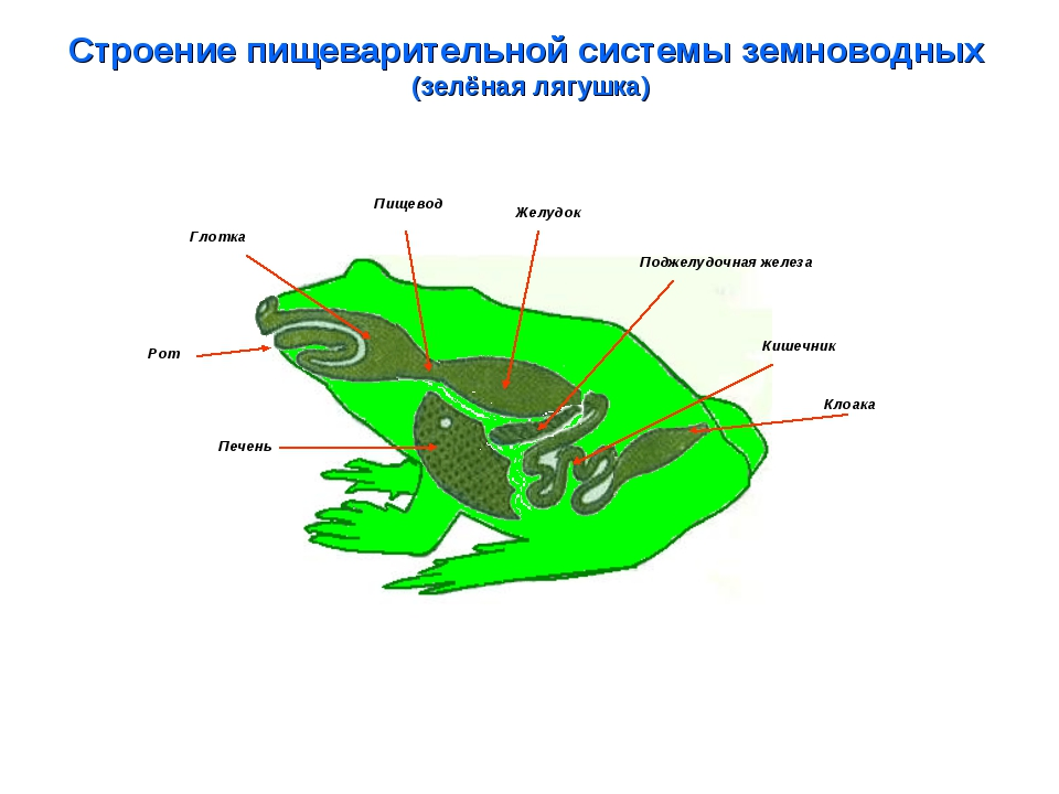 Строение пищеварительной системы земноводных (зелёная лягушка) Глотка Пищевод...