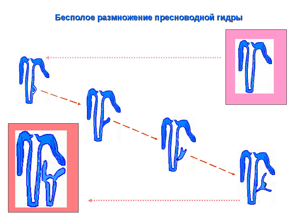 Бесполое размножение пресноводной гидры