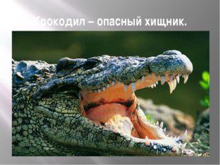 Крокодил – опасный хищник.