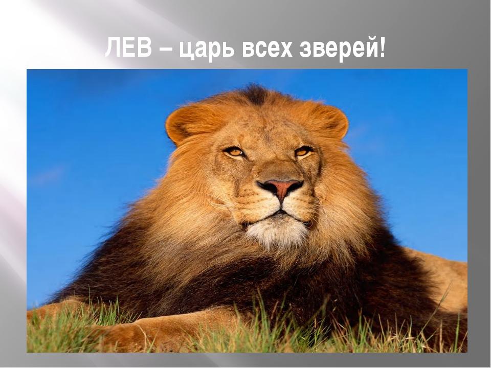 ЛЕВ – царь всех зверей!