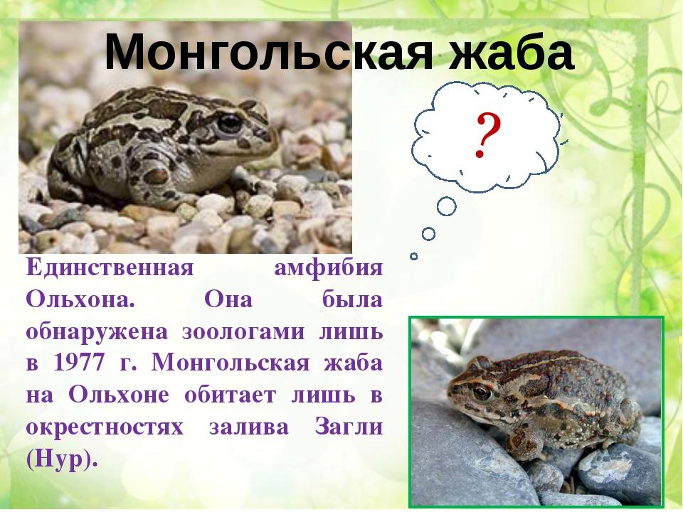 Единственная амфибия Ольхона. Она была обнаружена зоологами лишь в 1977 г. Мо...