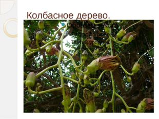 Колбасное дерево.