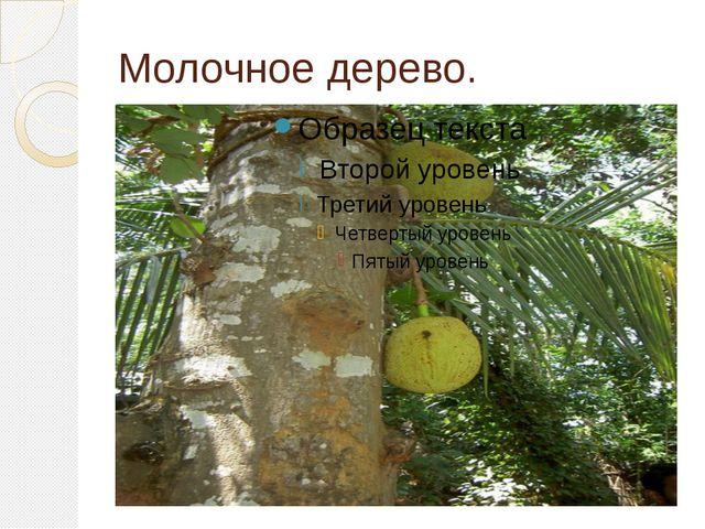 Молочное дерево.