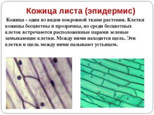 Кожица листа (эпидермис) Кожица - один из видов покровной ткани растения. Кле