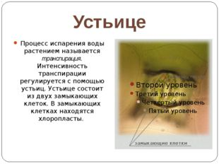 Устьице Процесс испарения воды растением называется транспирация. Интенсивнос