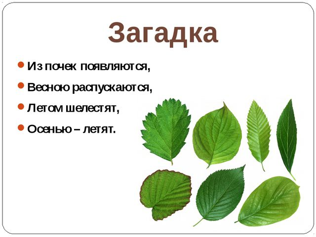 Загадка Из почек появляются, Весною распускаются, Летом шелестят, Осенью – ле...