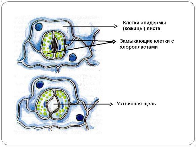 Клетки эпидермы (кожицы) листа Замыкающие клетки с хлоропластами Устьичная щель