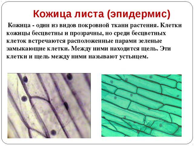 Кожица листа (эпидермис) Кожица - один из видов покровной ткани растения. Кле...