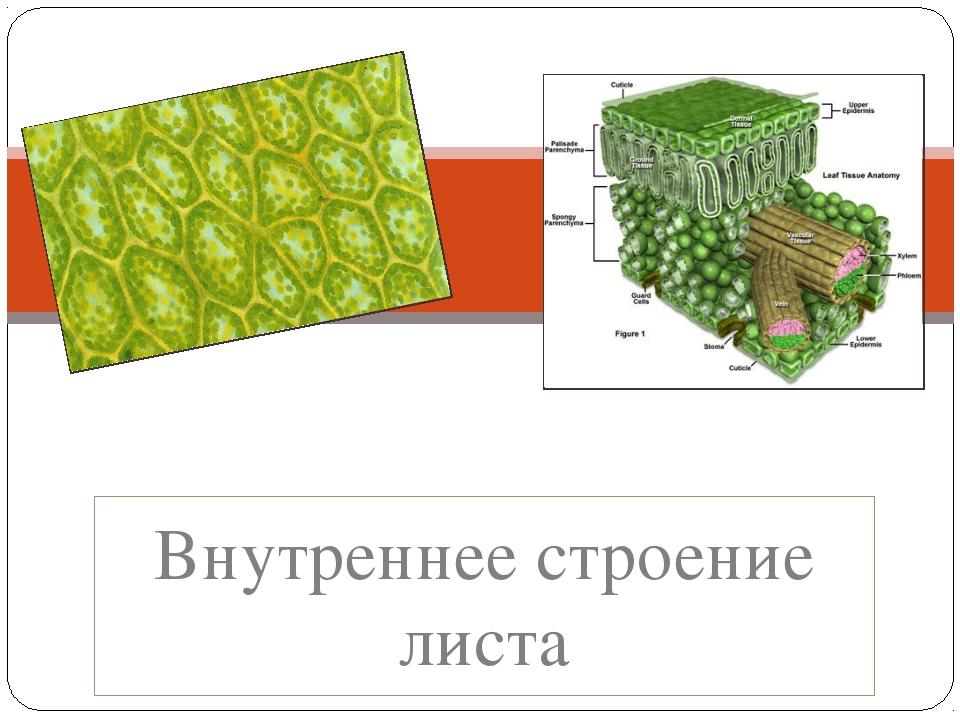 Внутреннее строение листа