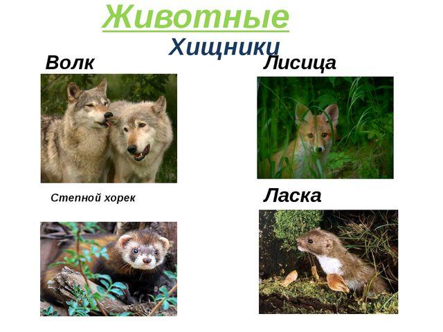 Хищники Лисица Животные Волк Степной хорек Ласка