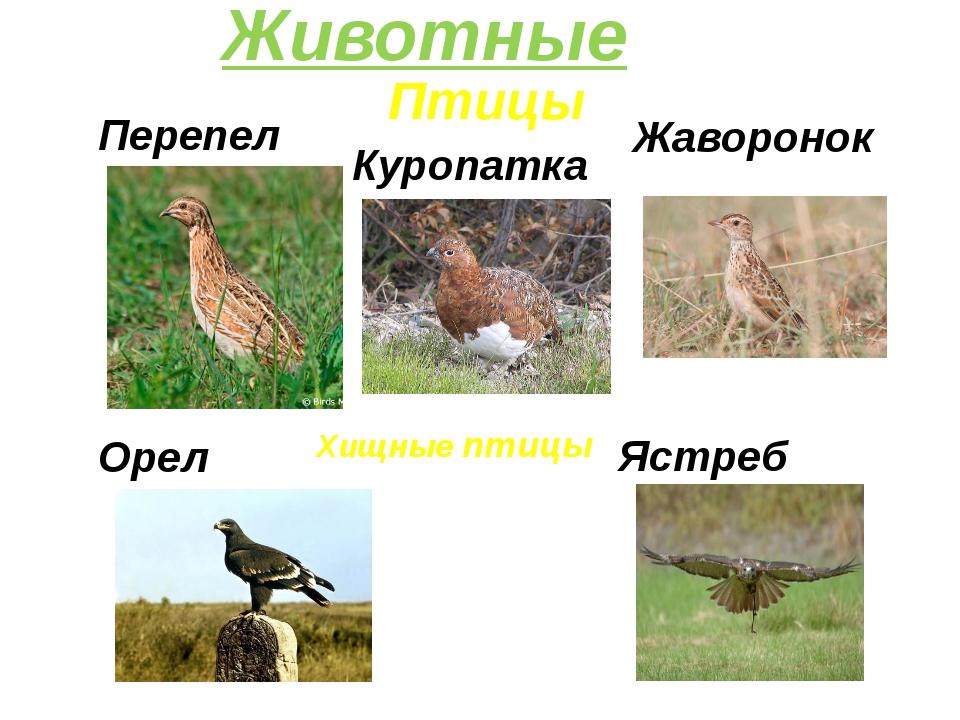 Птицы Куропатка Животные Перепел Орел Хищные птицы Ястреб Жаворонок