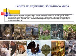 Работа по изучению животного мира Среди млекопитающих встречаются белка, собо