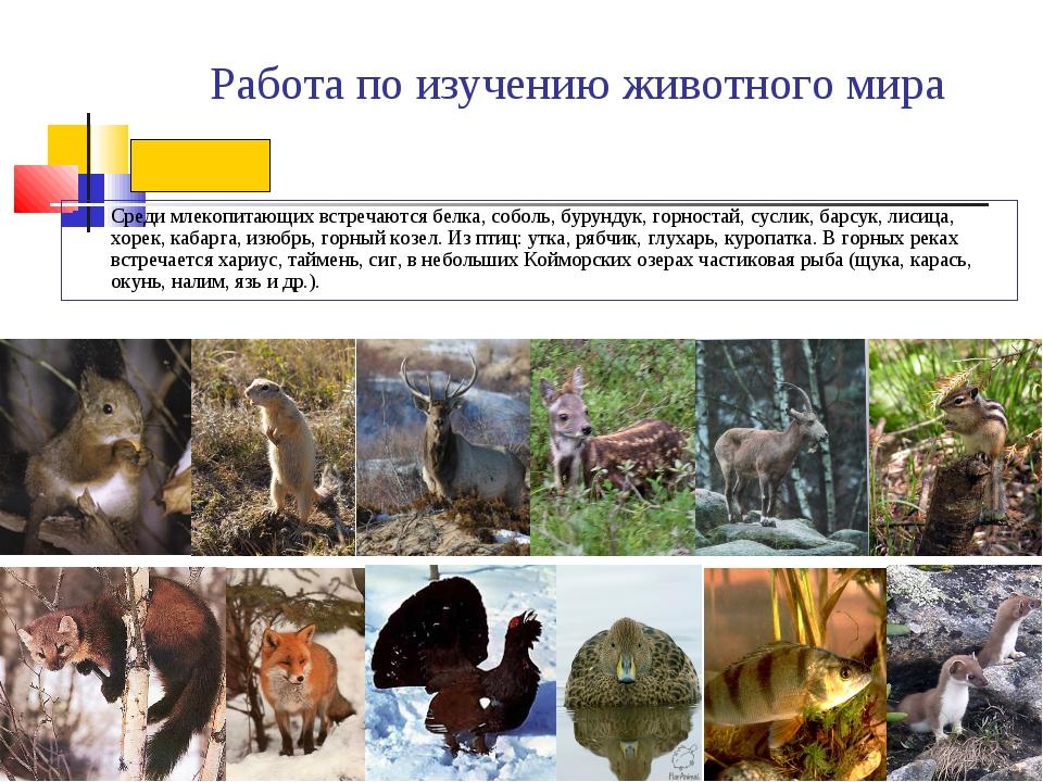Работа по изучению животного мира Среди млекопитающих встречаются белка, собо...
