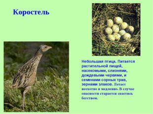 Коростель Небольшая птица. Питается растительной пищей, насекомыми, слизнями,