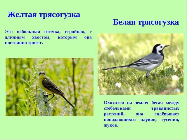 Это небольшая птичка, стройная, с длинным хвостом, которым она постоянно тряс...