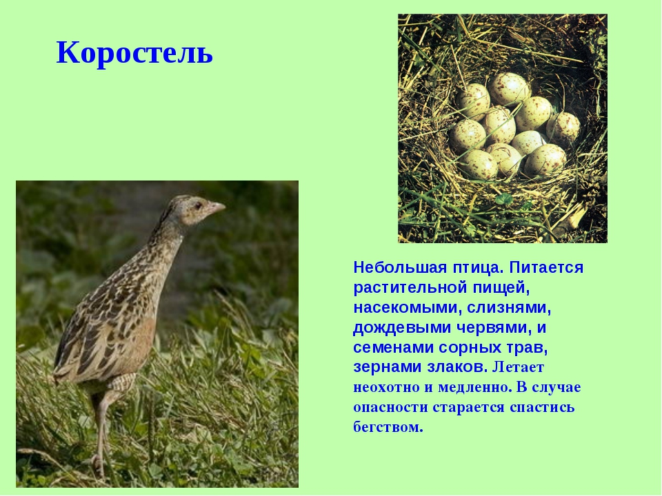Коростель Небольшая птица. Питается растительной пищей, насекомыми, слизнями,...