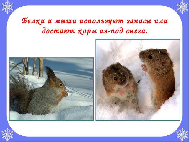 Белки и мыши используют запасы или достают корм из-под снега.