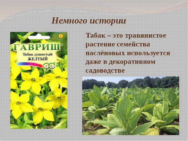 Немного истории Табак – это травянистое растение семейства паслёновых использ...