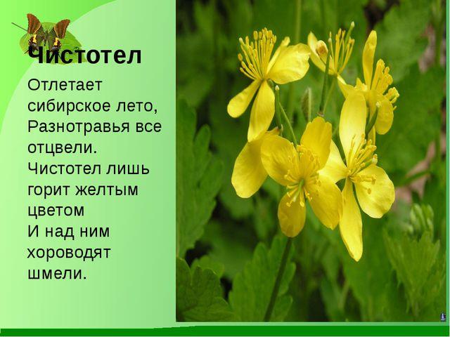 Чистотел Отлетает сибирское лето, Разнотравья все отцвели. Чистотел лишь гори...