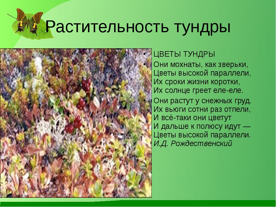 Растительность тундры ЦВЕТЫ ТУНДРЫ Они мохнаты, как зверьки, Цветы высокой па...
