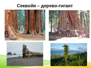 Секвойя – дерево-гигант