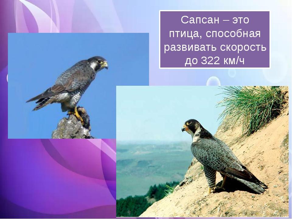 Сапсан – это птица, способная развивать скорость до 322 км/ч