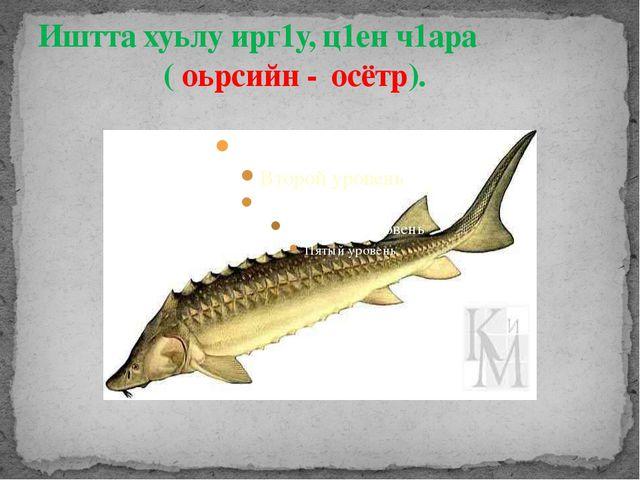 Иштта хуьлу ирг1у, ц1ен ч1ара ( оьрсийн - осётр).