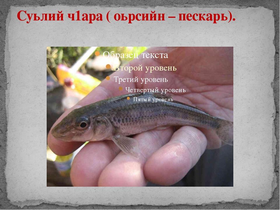 Суьлий ч1ара ( оьрсийн – пескарь).