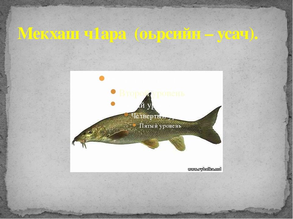 Мекхаш ч1ара (оьрсийн – усач).
